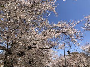お花見 桜 臥竜公園1